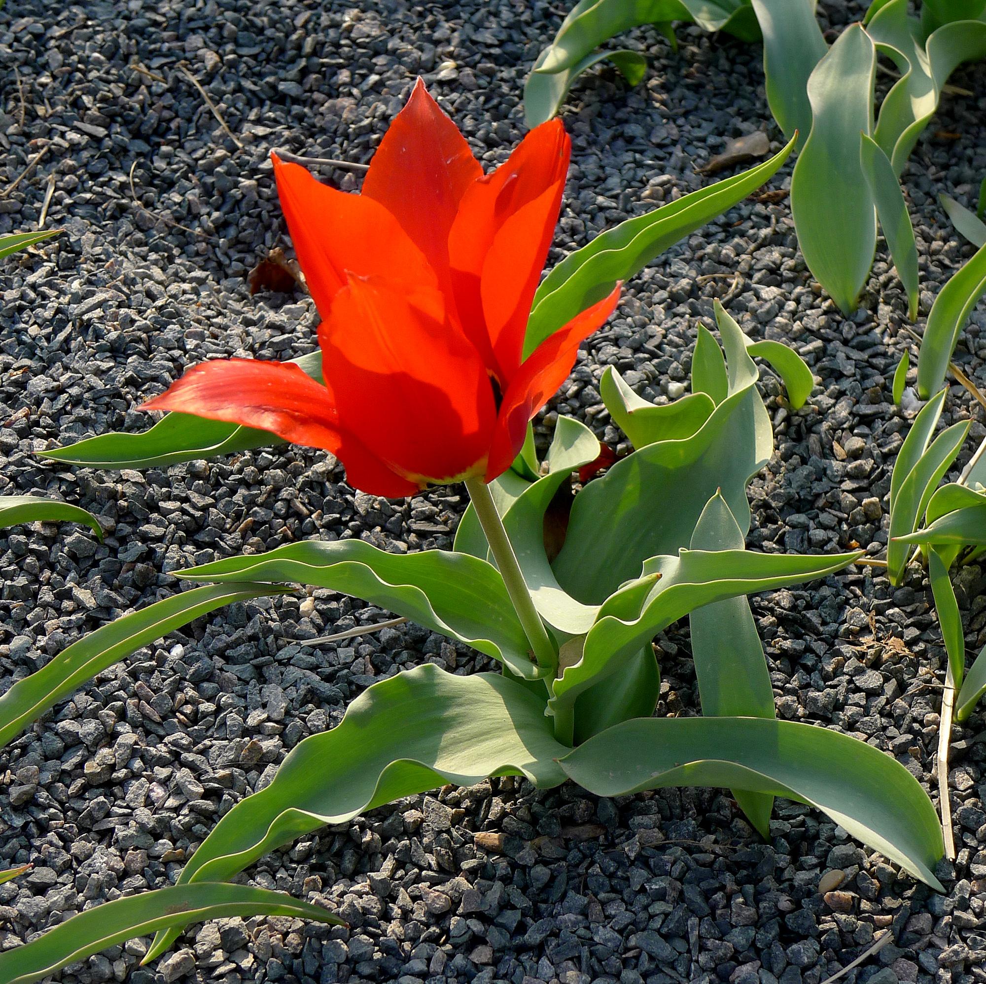 Tulipa undulatifolia Picture Mbzt CC BY-SA 3.0