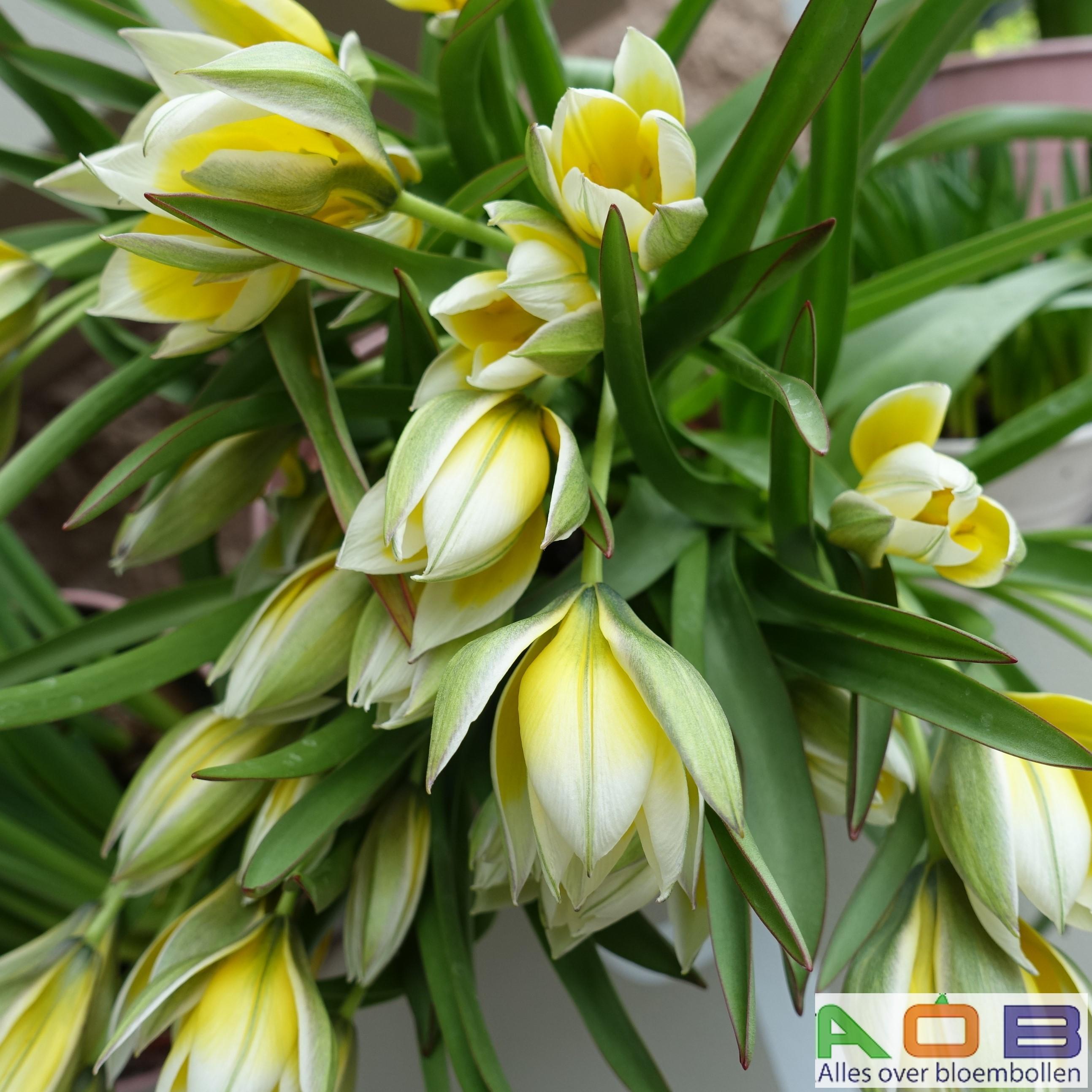 Tulipa urumiensis
