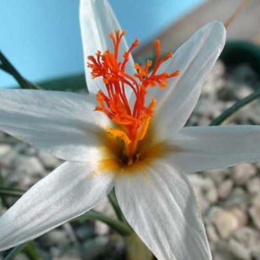 Crocus fleischeri Picture John Lonsdale, Edgewood Gardens
