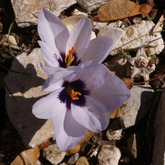 Crocus mathewi Picture www.viranatura.com