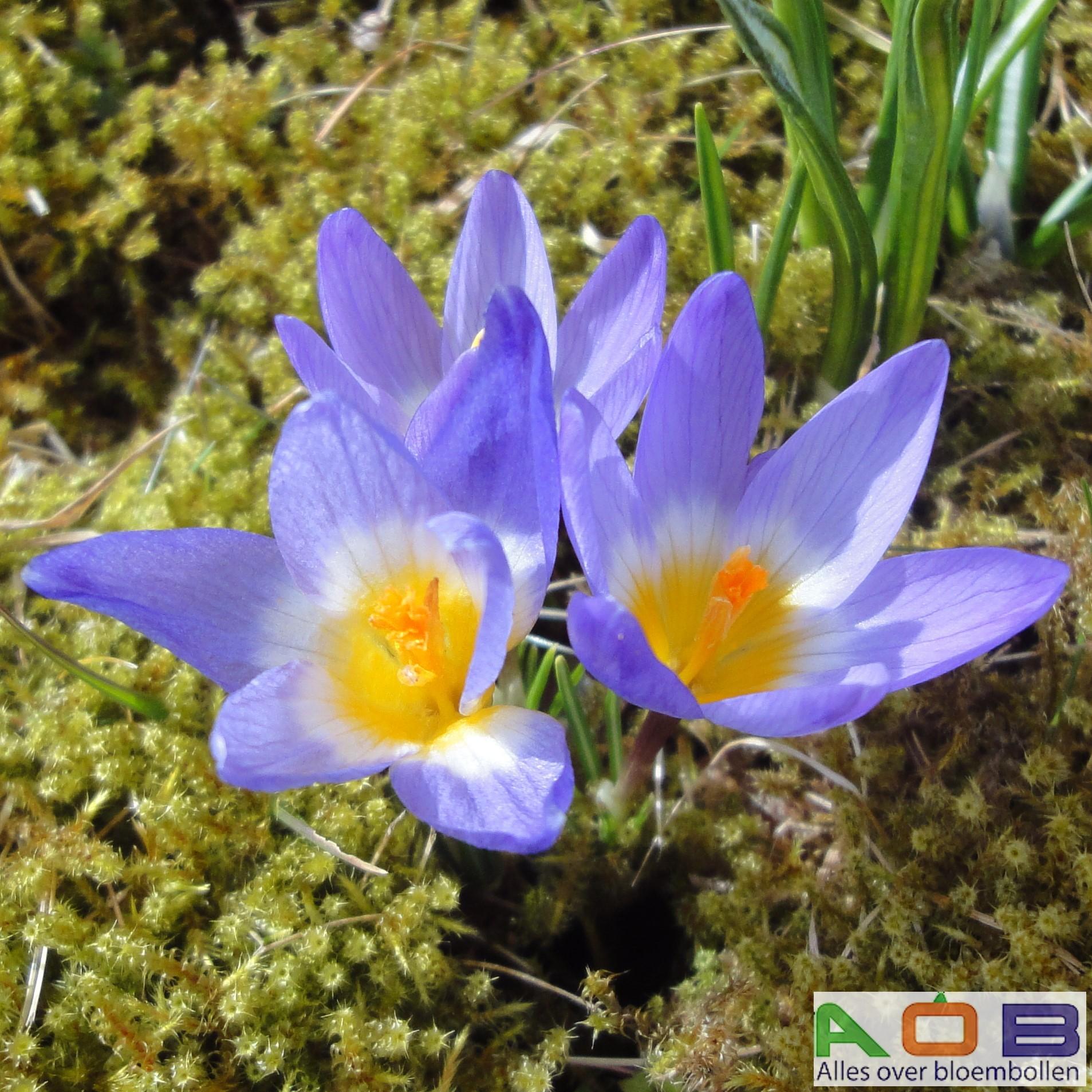 Crocus sieberi ssp sublimus tricolor