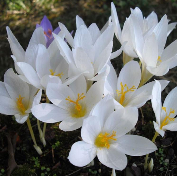 Crocus speciosus Picture www.fleurs-des-montagnes.net