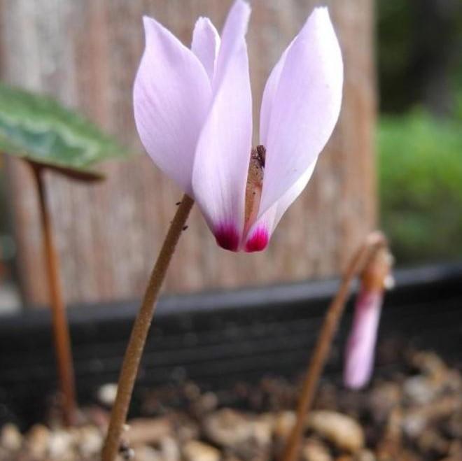 Cyclamen coum ssp. caucasicum Picture Mary Sue Ittner
