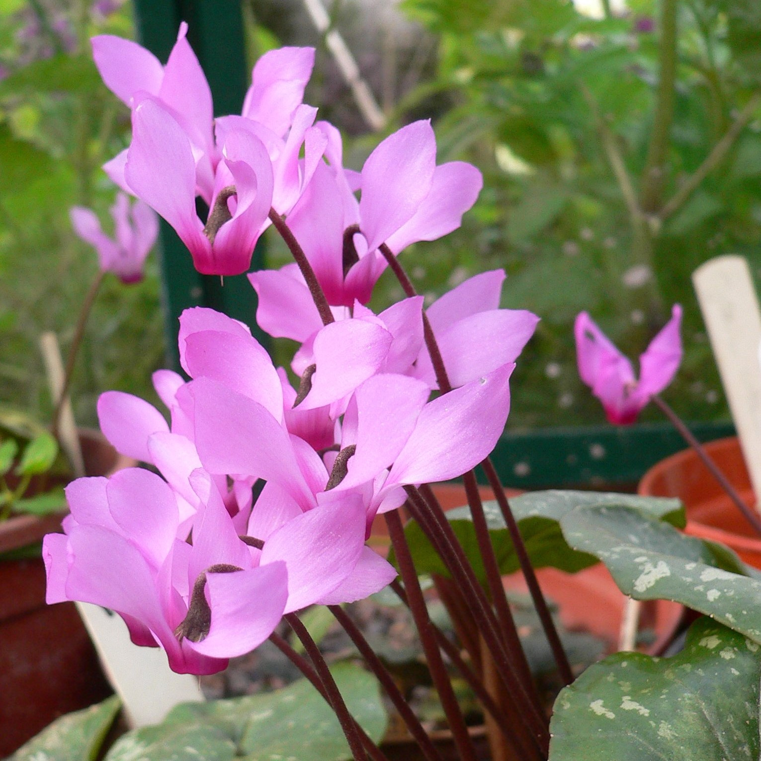 Cyclamen rhodium Picture Mark Griffiths