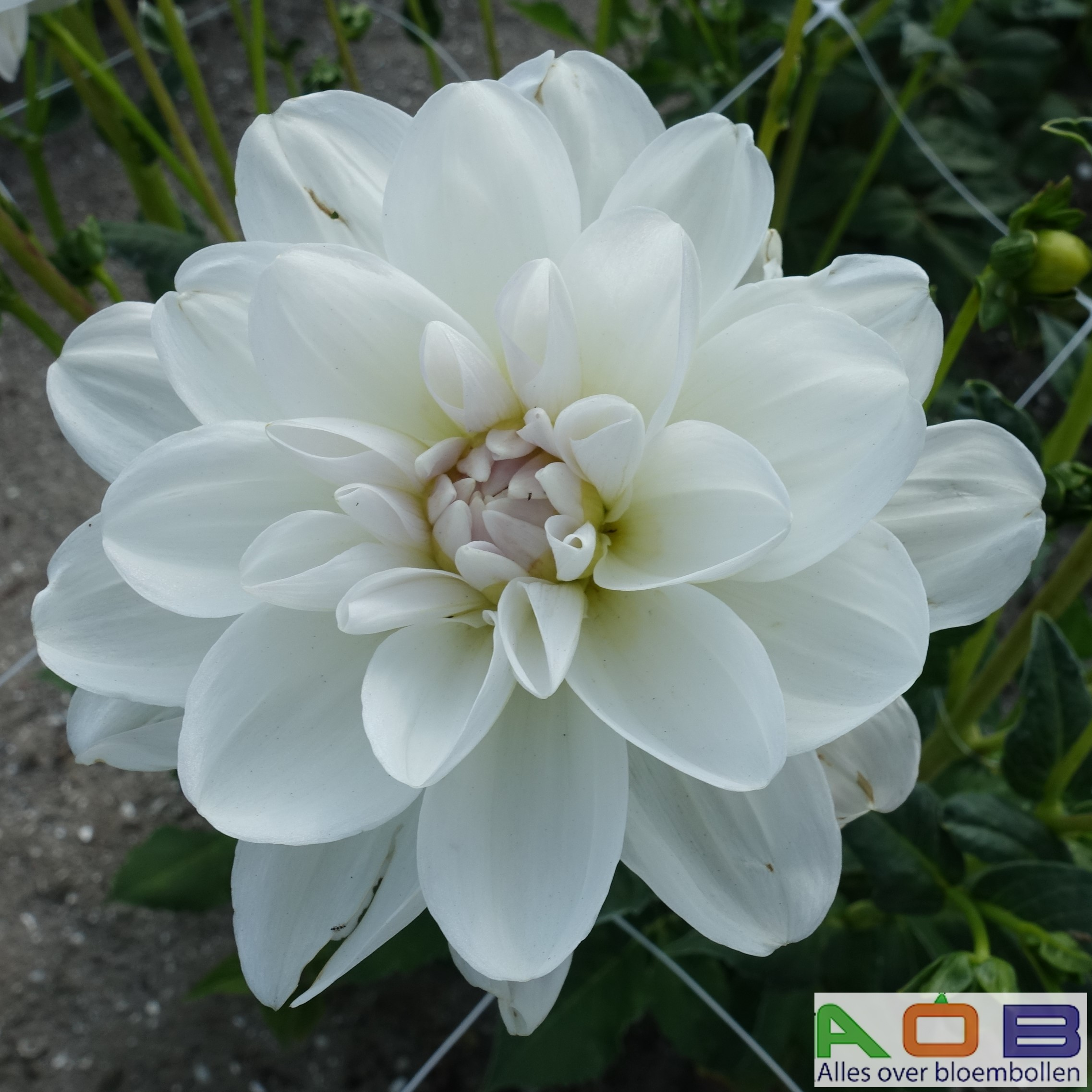 Dahlia 'Porcelain'