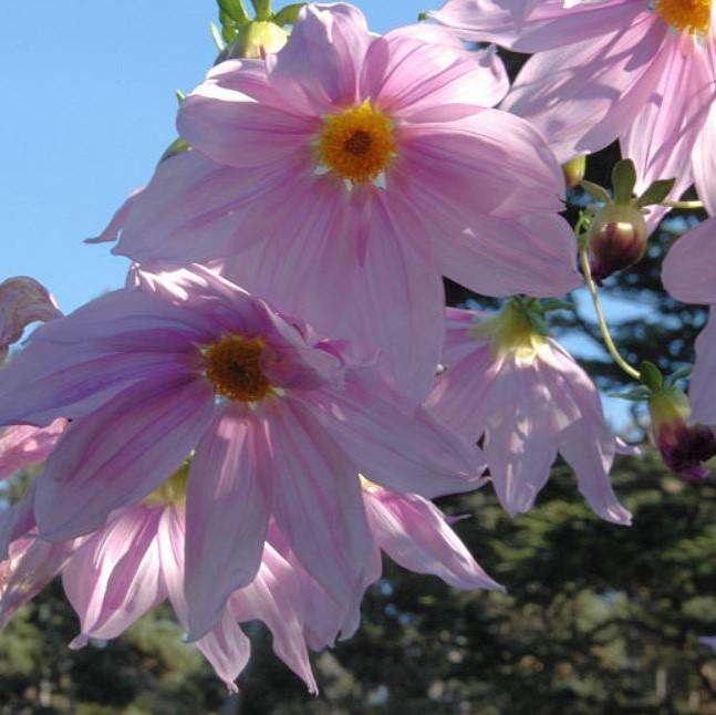 Dahlia imperialis Picture Bob Rutemoeller