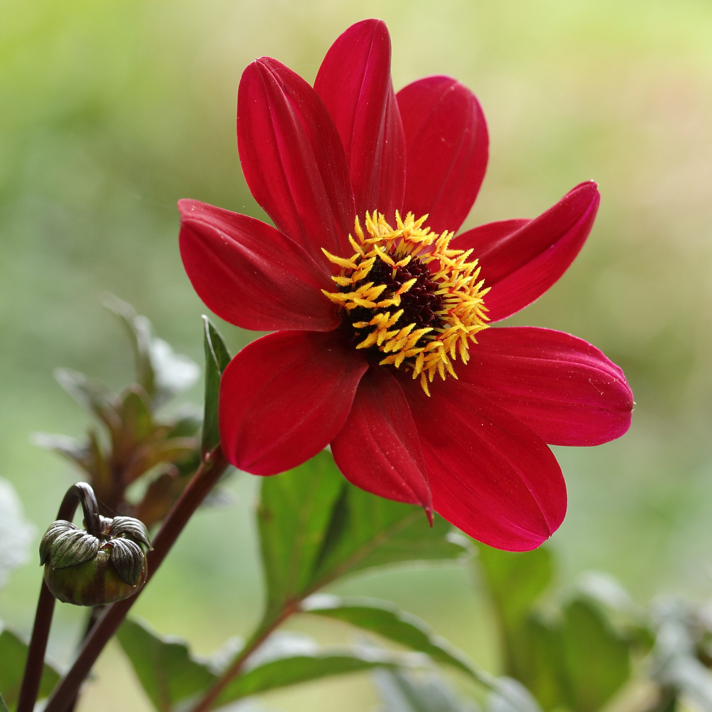 Dahlia_'Bishop_of_Auckland' Picture Dominicus Johannes Bergsma