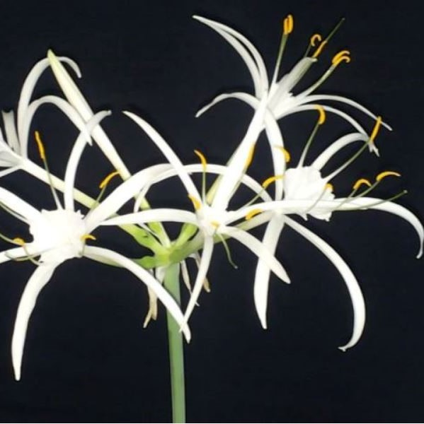 Hymenocallis fragrans Picture Angelo Porcelli