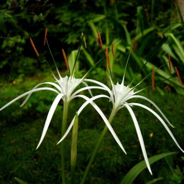 Hymenocallis maximillianii Picture Jay Yourch