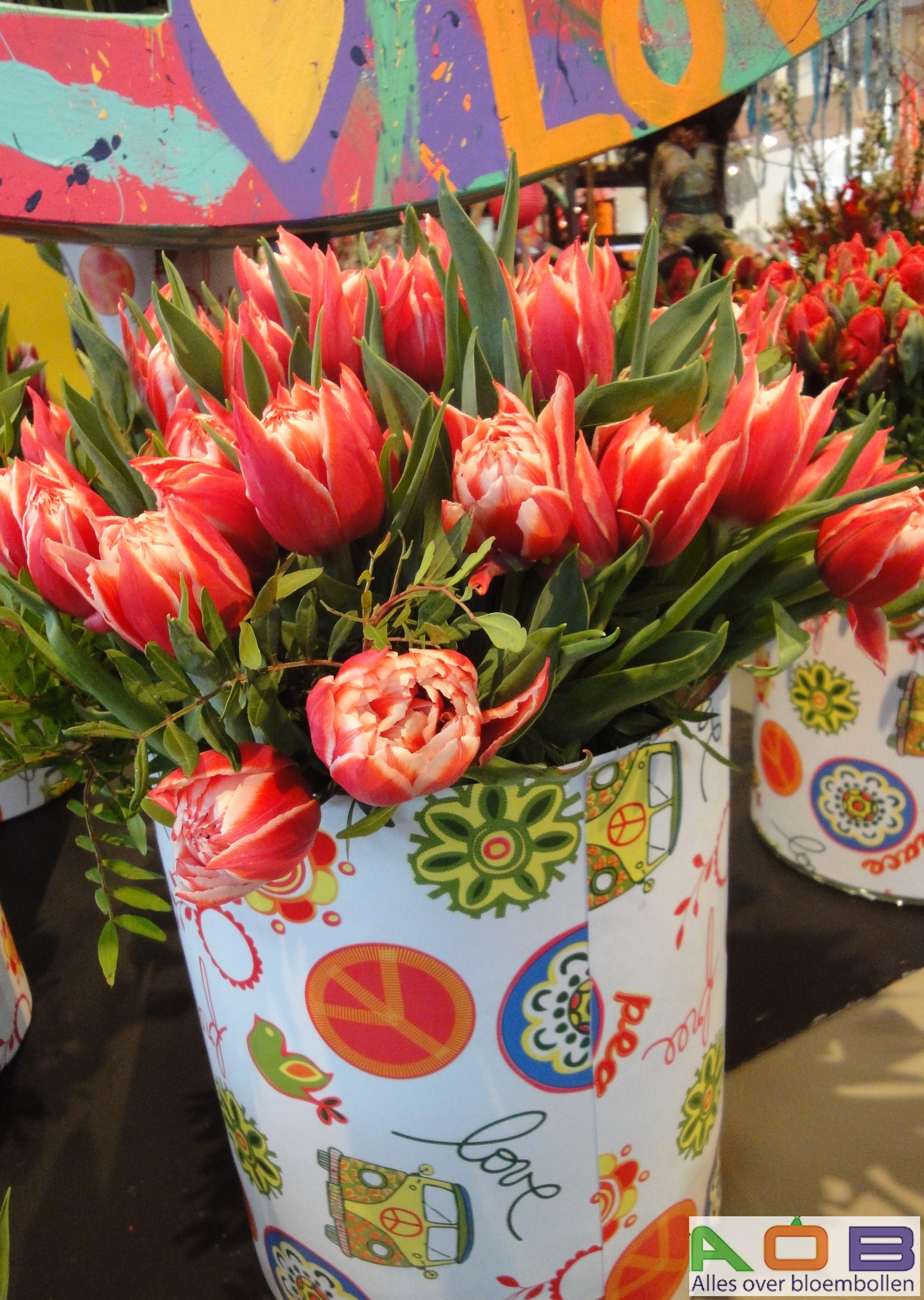 Tulipa 'Championship'
