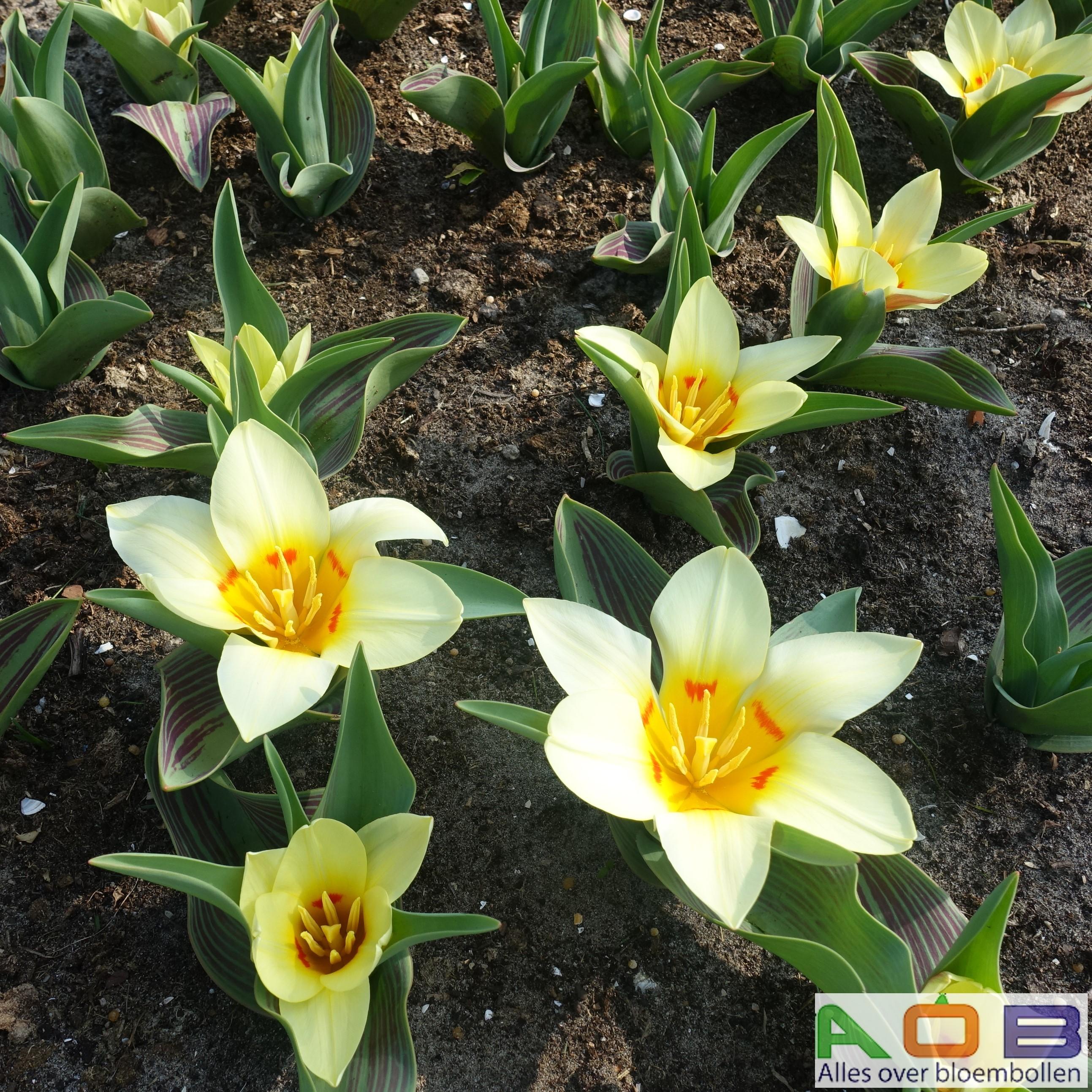Tulipa 'Danny Blind'
