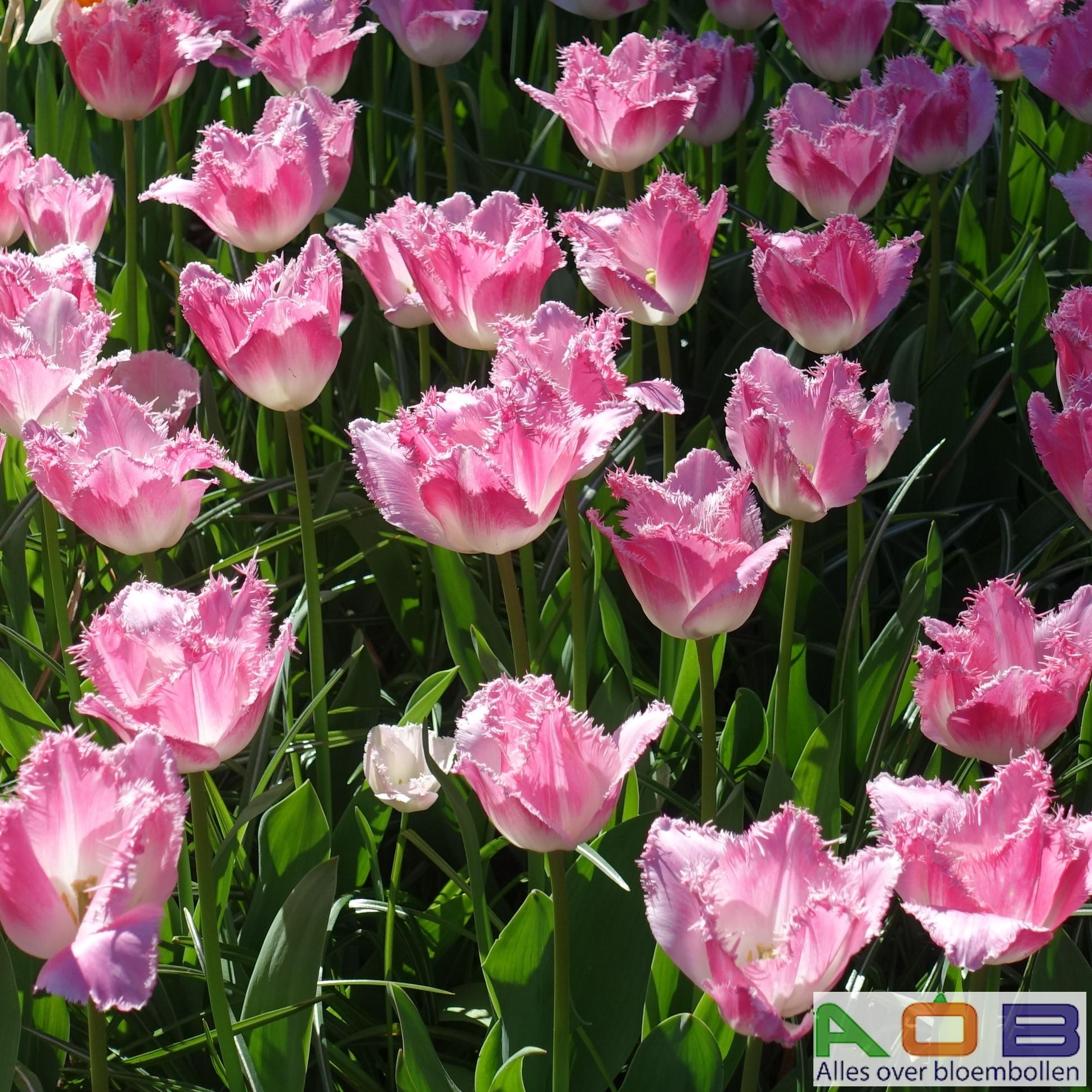 Tulipa 'Doutzen'
