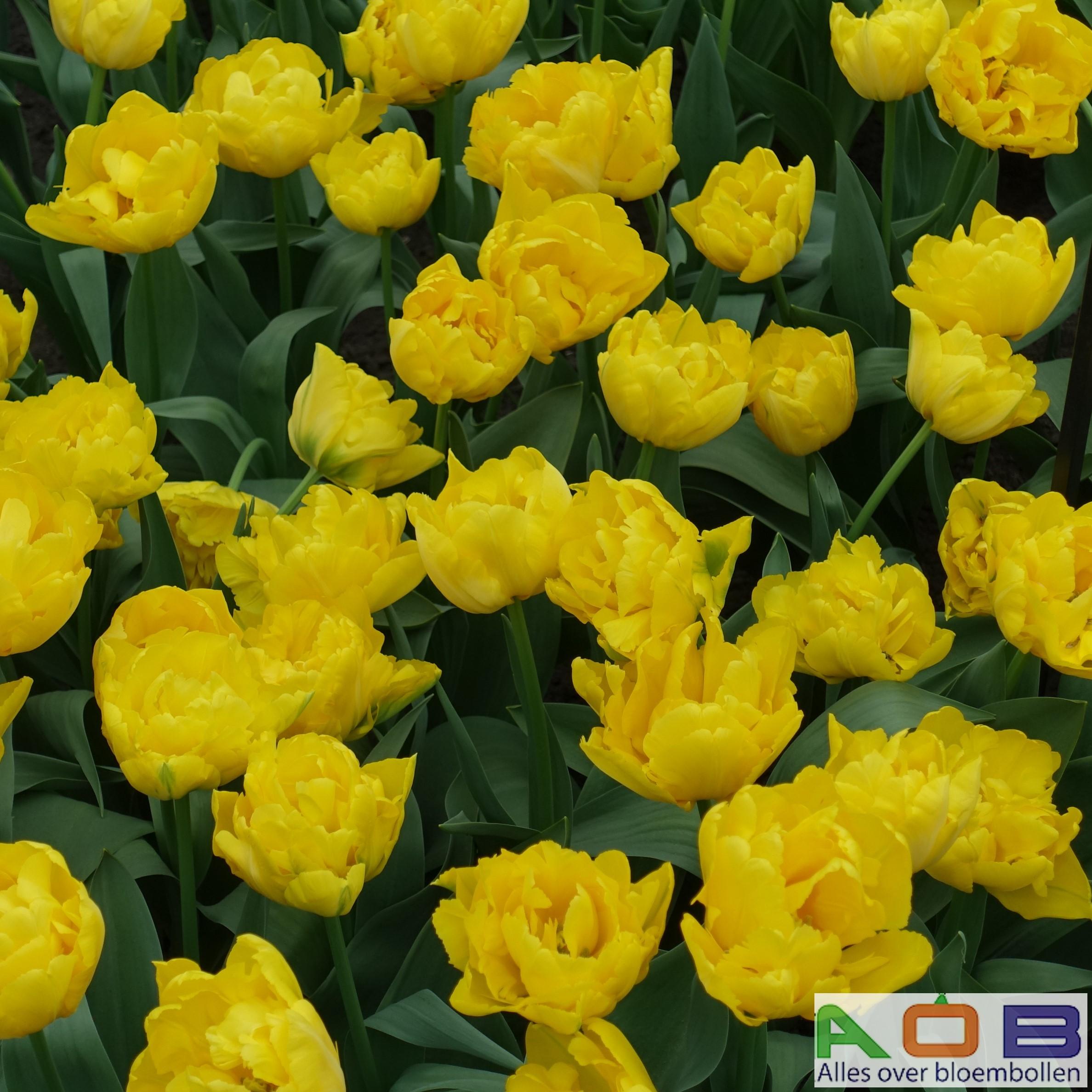 Tulipa 'Marie Jo'