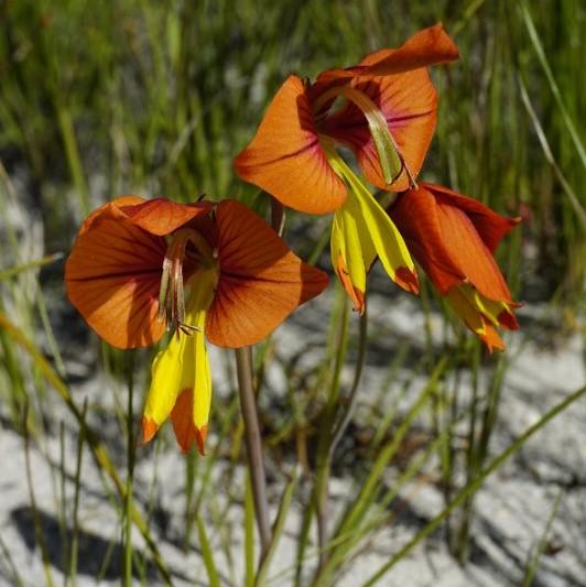 Gladiolus alatus Picture www.viranatura.com