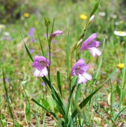 Gladiolus anatolicus Picture Oron Peri