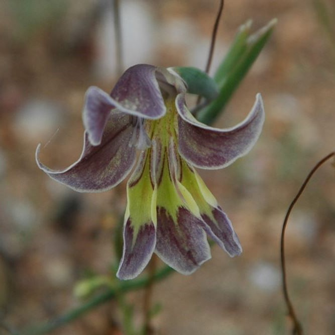Gladiolus arcuatus Picture Mary Sue Ittner