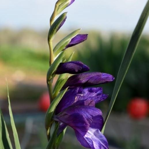 Gladiolus atroviolaceus Picture Oron Peri