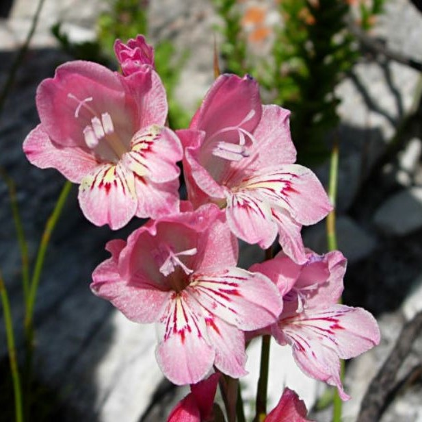 Gladiolus brevifolius Picture Cameron McMaster
