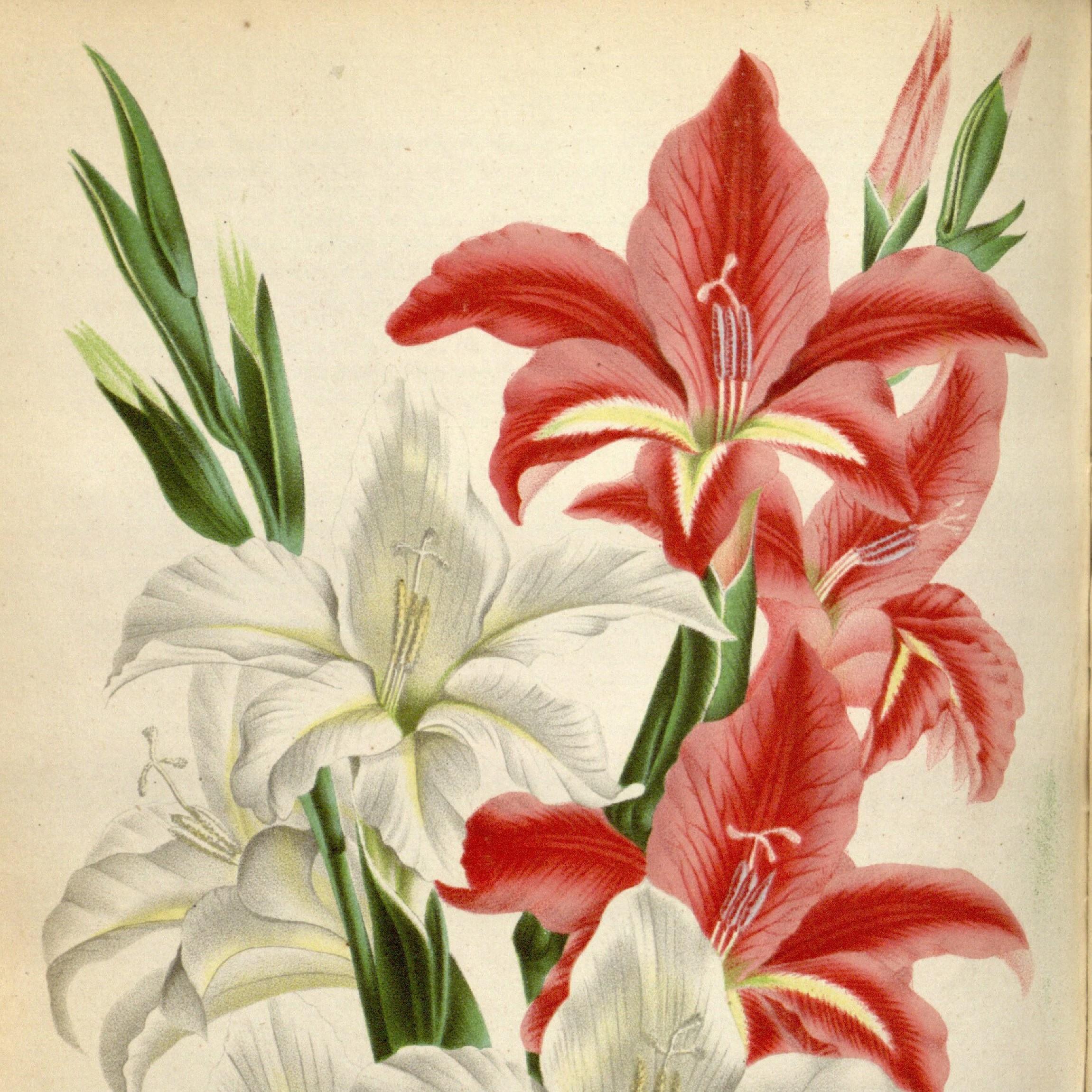 Gladiolus collvillii
