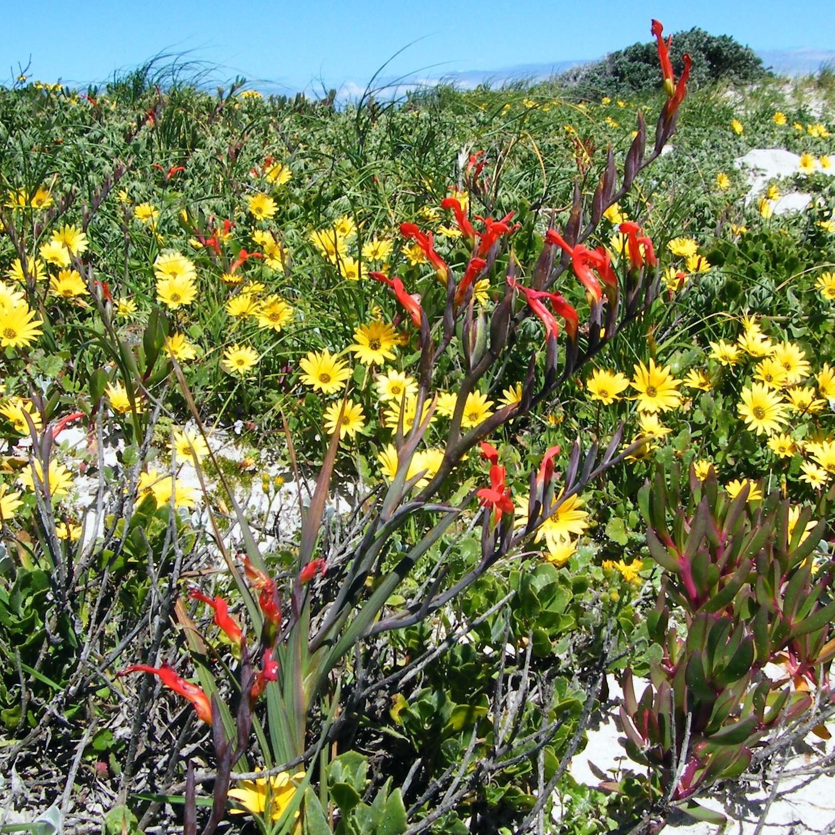 Gladiolus cunonius Picture Andrew Massyn