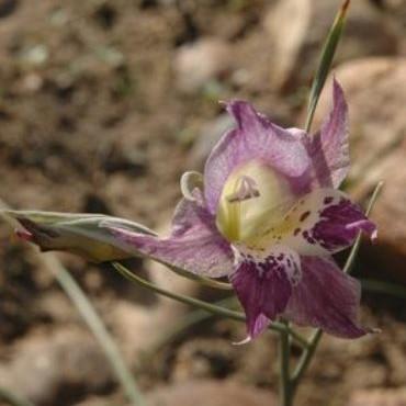 Gladiolus inflexus Picture Rachel Saunders