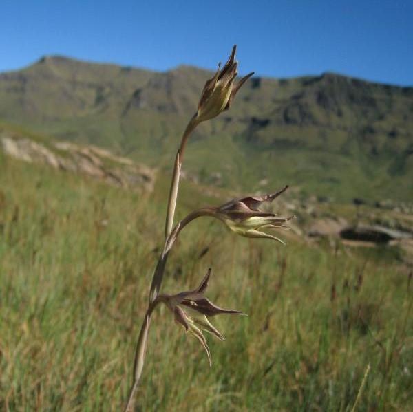 Gladiolus longicollis Picture Cameron McMaster