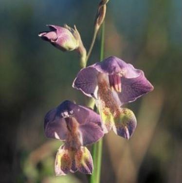 Gladiolus marlothii Picture Rob Saunders