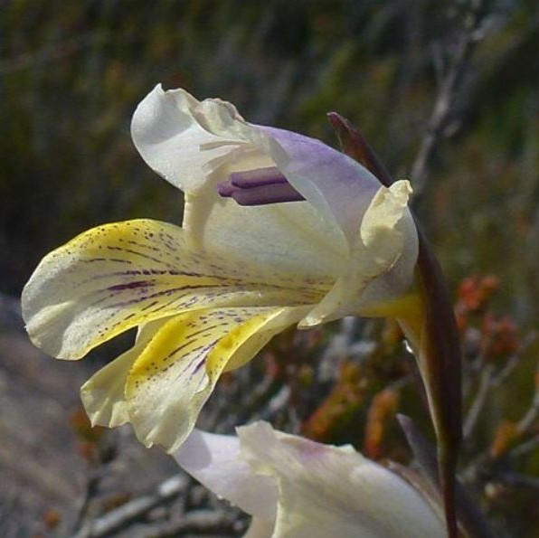 Gladiolus mutabilis Picture Cameron McMaster