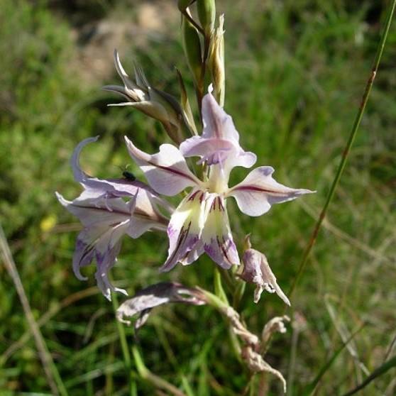 Gladiolus permeabilis Picture Cameron McMaster