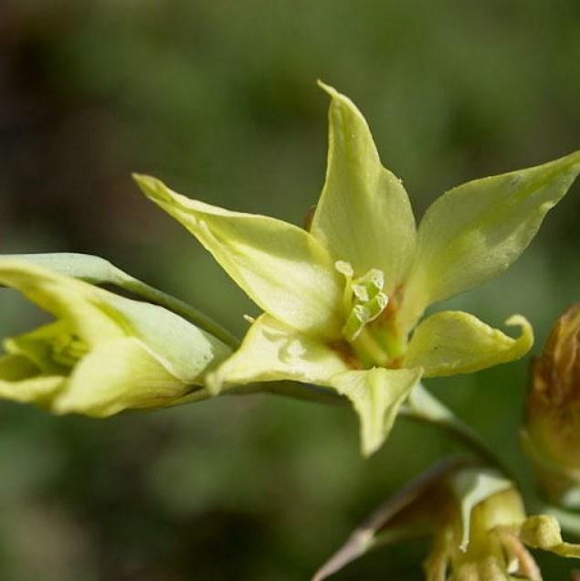 Gladiolus pubigerus Picture Cameron McMaster