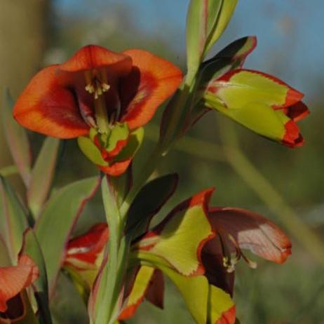 Gladiolus speciosus Picture Bob Rutemoeller