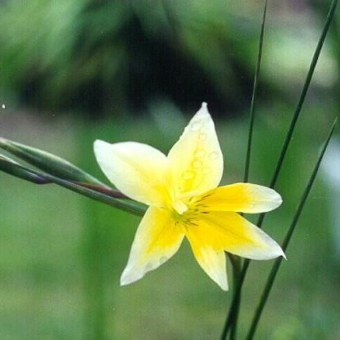 Gladiolus trichonemifolius Picture Mary Sue Ittner