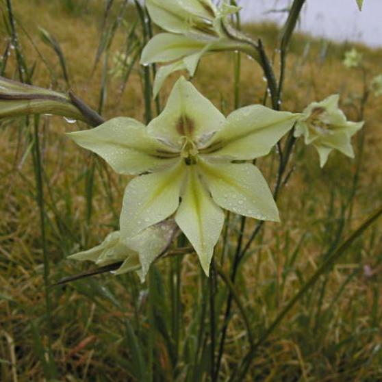Gladiolus tristis Picture Bob Rutemoeller