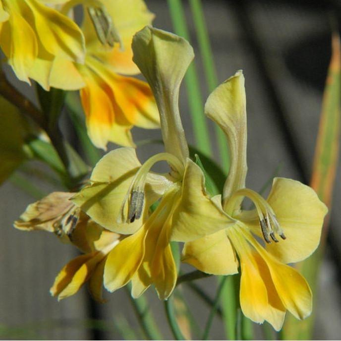 Gladiolus virescens Picture Mary Sue Ittner