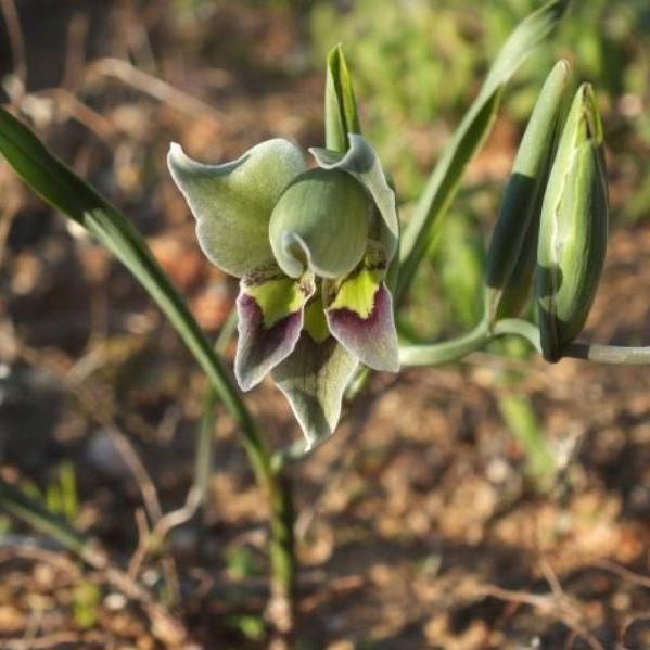 Gladiolus viridiflorus Picture Rachel Saunders