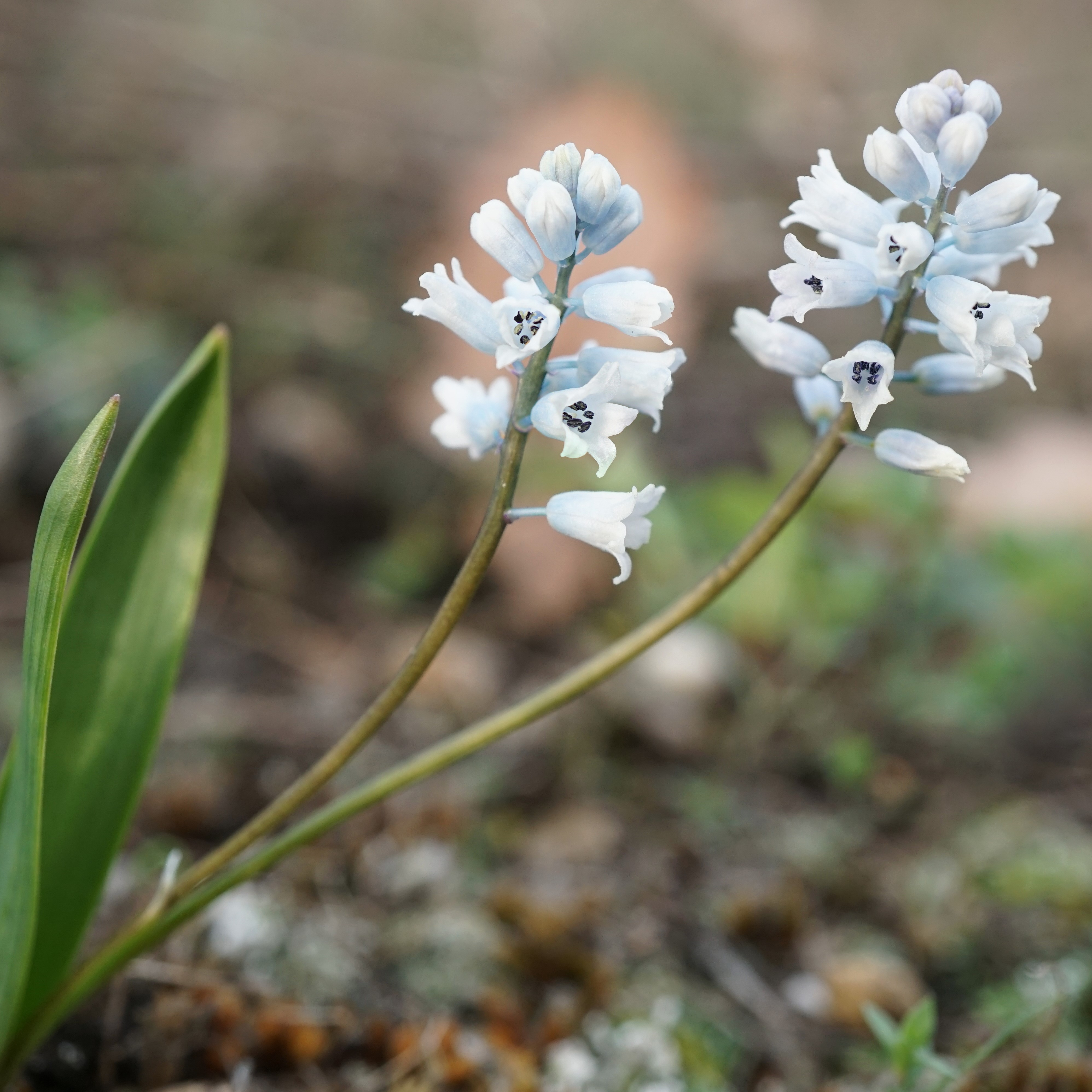 Hyacinthella leucophaea Picture Xulescu g CC BY-SA 4.0