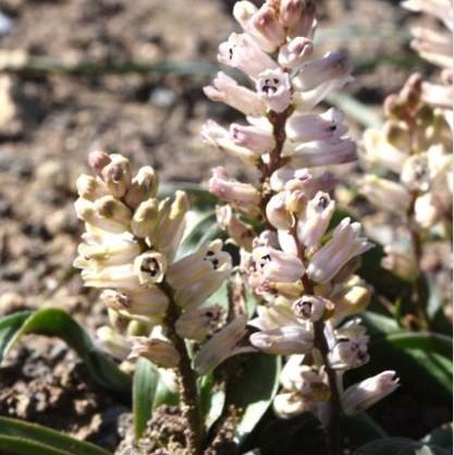 Hyacinthella nervosa pink Picture Oron Perri