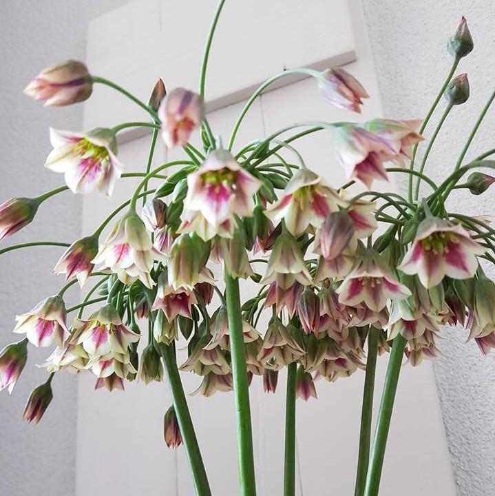 Nectaroscordum Picture www.agapanthus.nl