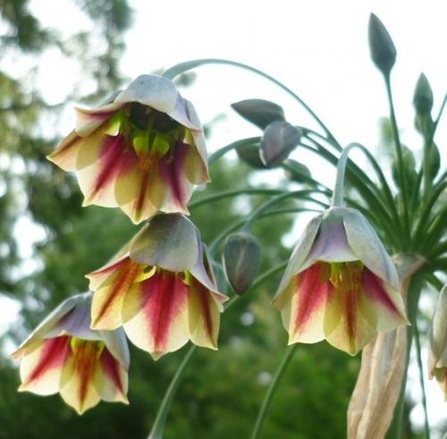 Nectaroscordum siculum Picture www.agapanthus.nl