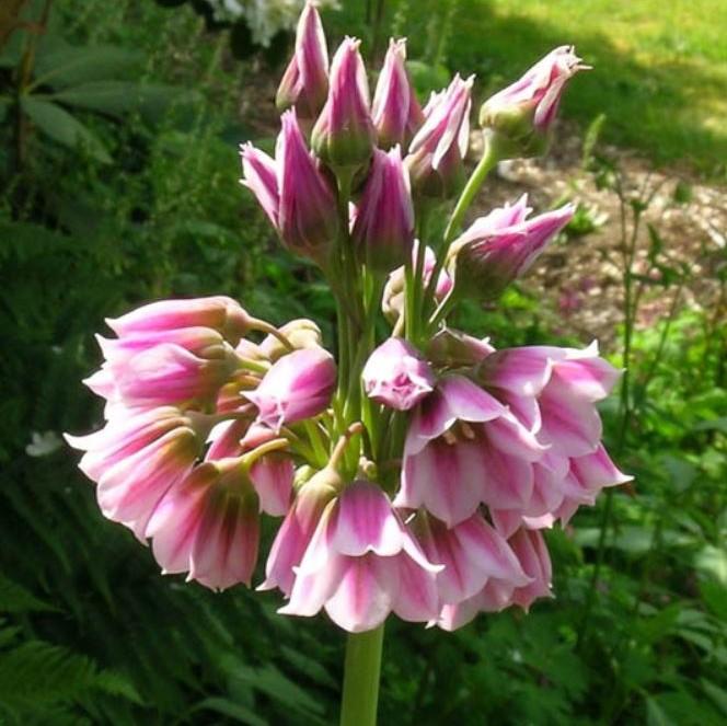 Nectaroscordum tripedale Picture Kathleen Sayce