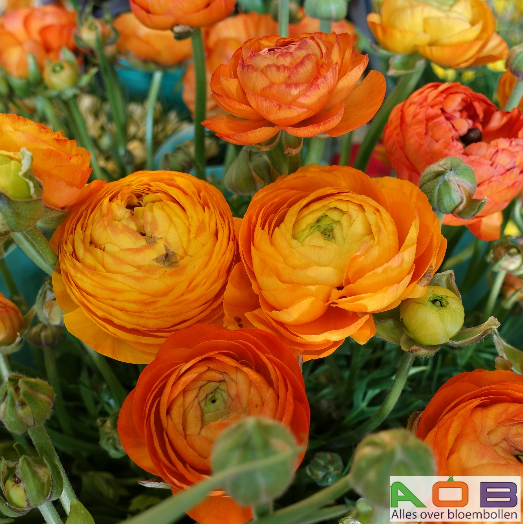 Ranunculus asiaticus 'Orange'