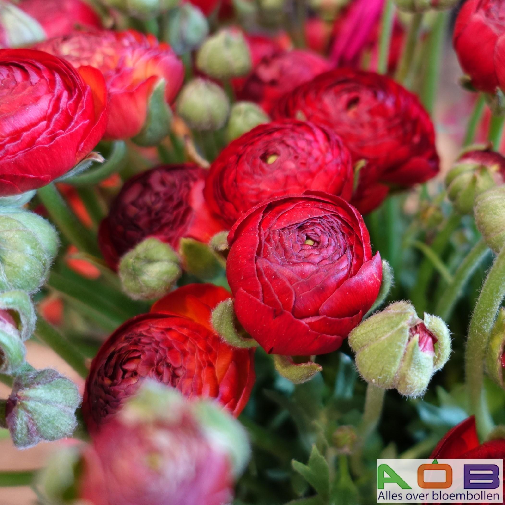 Ranunculus asiaticus 'Rood'