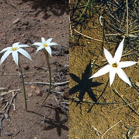 Tristagma patagonicum Picture Dick Culbert CC BY 2.0