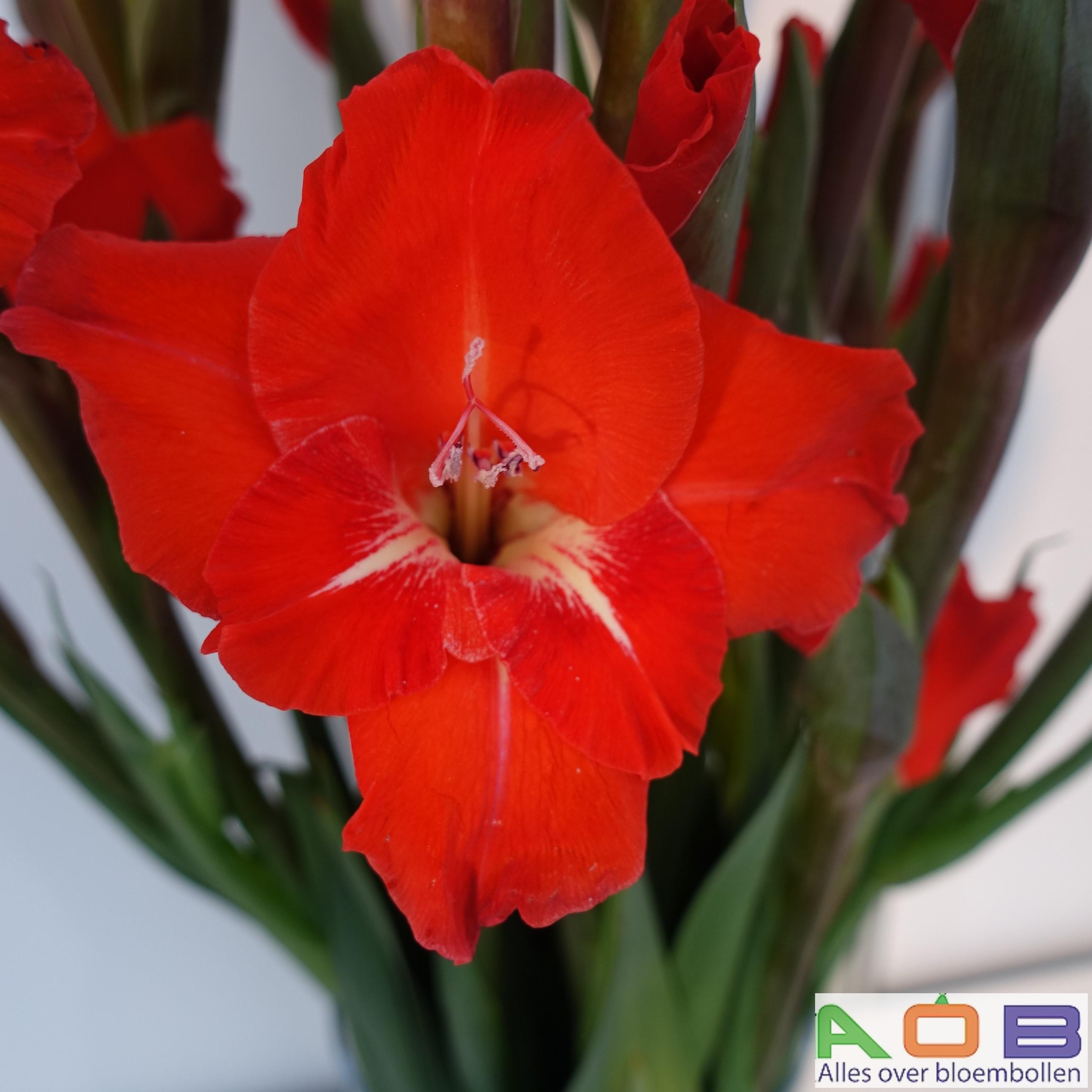 Gladiolus 'Chinon'