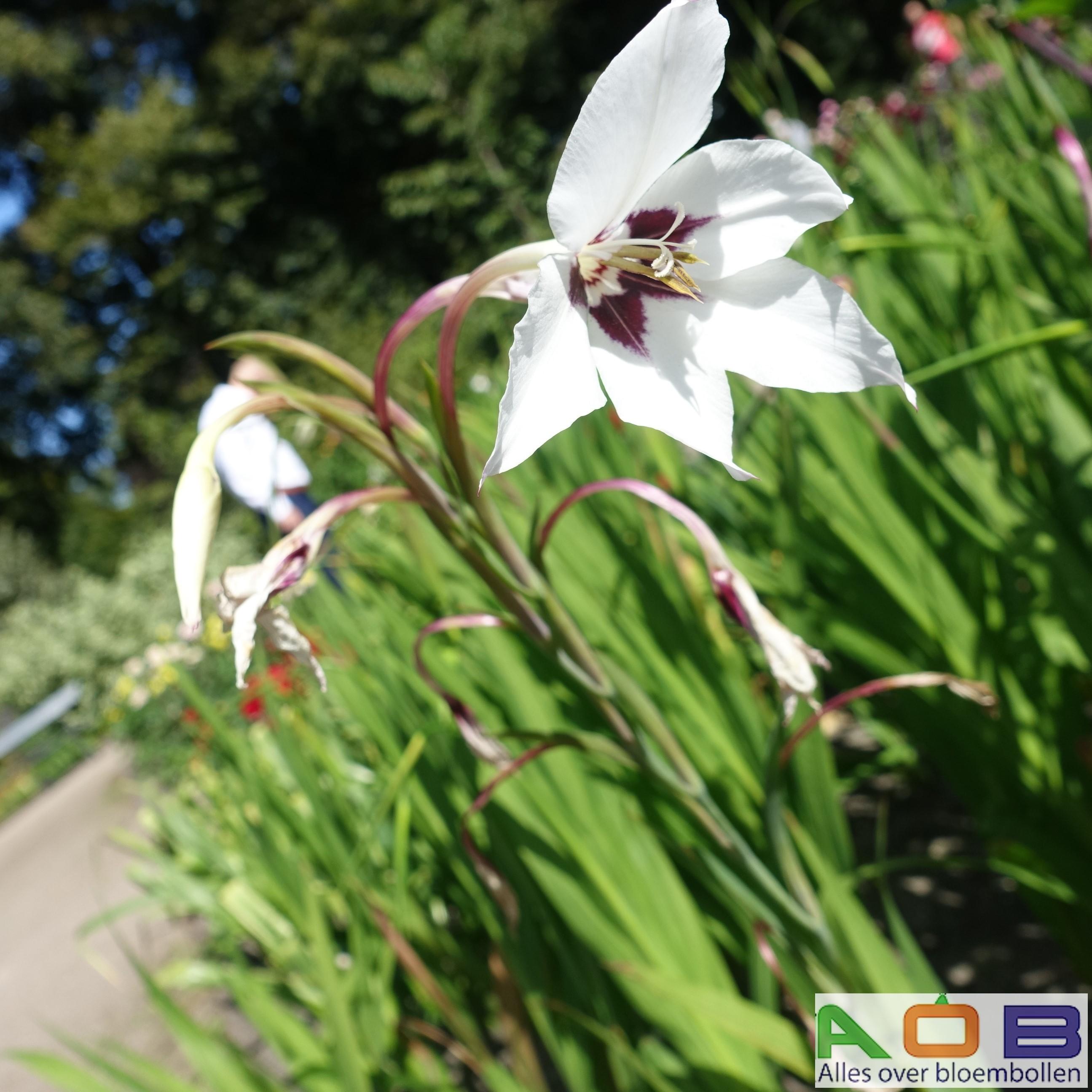 Gladiolus murileae
