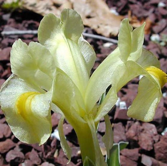 Iris caucasica Picture John Lonsdale, Edgewood Gardens