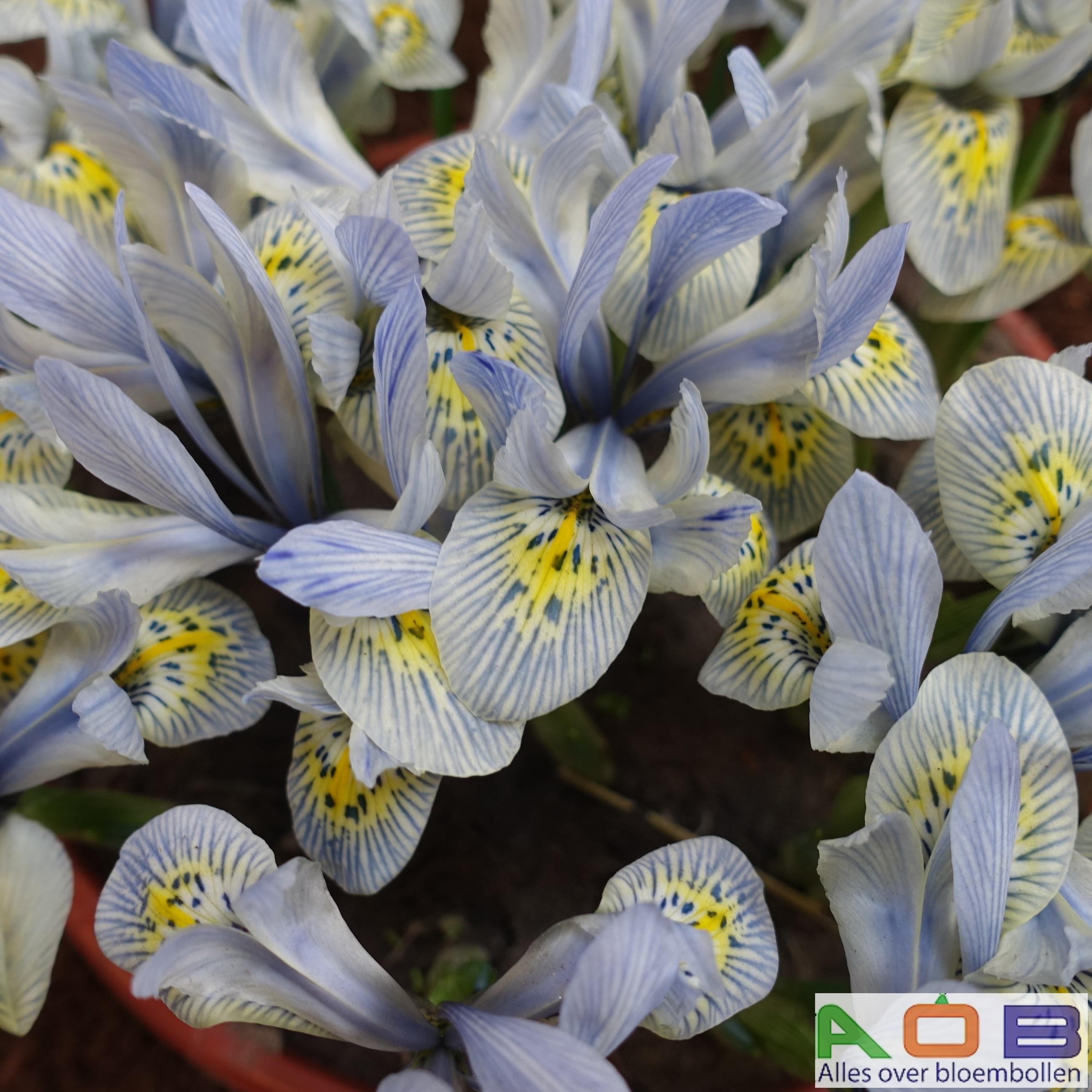 Iris histrioides 'Katarina Hodgekin'
