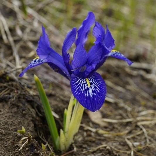 Iris histrioides Picture www.viranatura.com