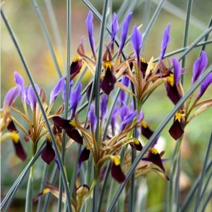 Iris pamphylica Picture Oron Peri