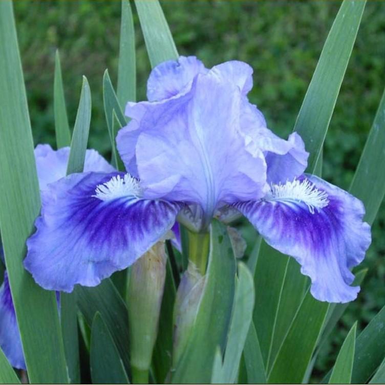 Iris pumila Picture www.fleurs-des-montagnes.net